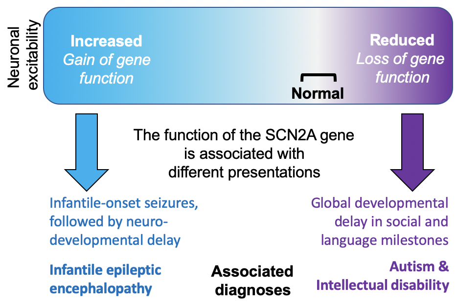 This figure describes the relationship between SCN2A function and presentations. A box is presented with a gradient to represent the different levels of neuronal excitability. On one end in blue, increased neuronal excitability is associated with a gain of the gene function where sodium is increased leading to excessive neuronal firing. This pattern is associated with infantile onset seizures, followed by neurodevelopmental delay and associated diagnoses of infantile epileptic encephalopathy.  On the other end in purple, reduced neuronal excitability is associated with a loss of the gene function where sodium is decreased leading to insufficient neuronal firing. This pattern is associated with global developmental delay in social and language milestones and associated diagnoses of autism and intellectual disability.