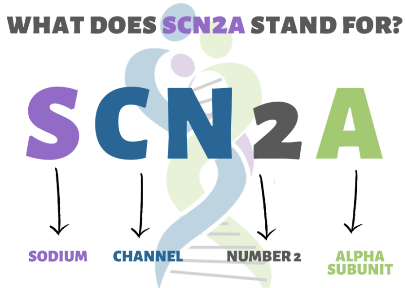 What does SCN2A Stand for?  S=Sodium. C= Channel. N2=Number 2. A=Alpha subunit